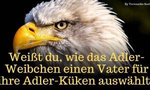 Weißt du, wie das Adler-Weibchen einen Vater für ihre Adler-Küken auswählt?